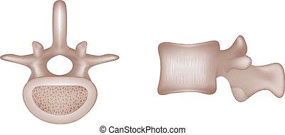 vertebral, knochen, menschliche