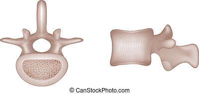 vertebral, ossos, human