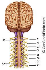 Vertebras y nervios cervicales - Esquema de la ramificación...