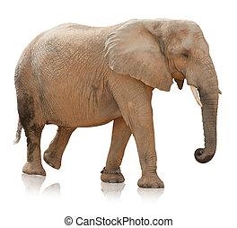 verticaal, bull, elefant