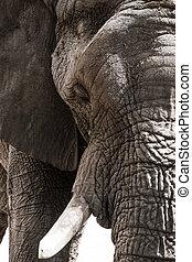 verticaal, closeup, elefant