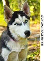 verticaal, -, dog, husky