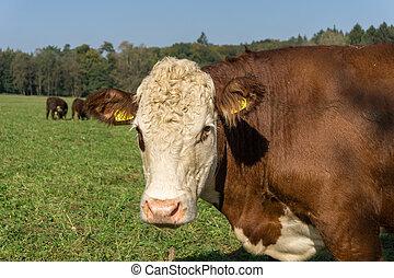 verticaal, koe, bruine
