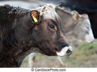 verticaal, koe