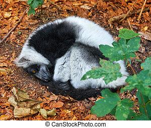 verticaal, lemur, madagascar, ruffed