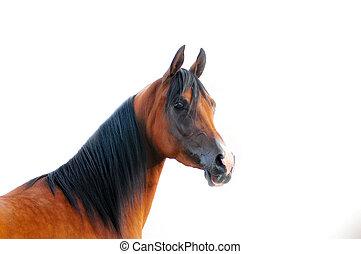 verticaal, paarde, arabisch, vrijstaand, witte