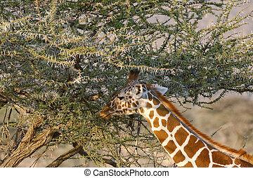 verticaal, somali, giraffes