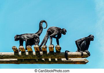 verticaal, spin aap