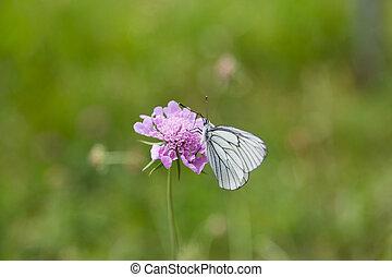 verticaal, van, black-veined, witte , vlinder, (aporia, crataegi)