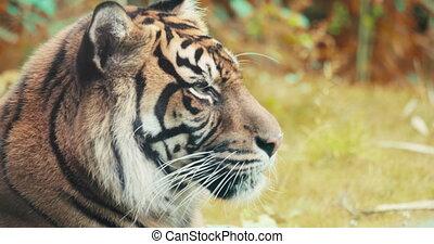 verticaal, van, een, siberisch, tiger.