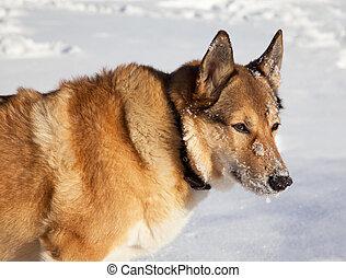 verticaal, van, roodharig, jagende hond