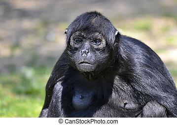 verticaal, zwarte-aangevoerde, spin aap