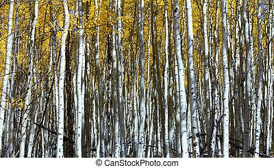 Vertical Aspen Tree Trunks In Dense Colorado Forest