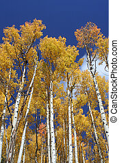 Vertical Aspens - aspen grove below Maroon Bells, Aspen,...