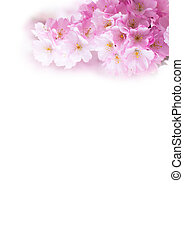 Vertical background with Beautiful pink cherry blossom, Sakura flowers on white