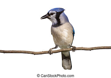 vertical full length view of bluejay perched on a branch