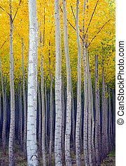 Vertical Growth - A stand of trees heading vertical in the...