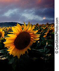 vertical HDR sunset with sunflowers