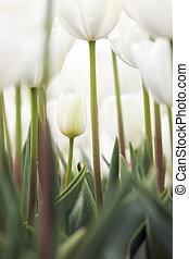 vertical, imagen, de, blanco, tulipanes, en, jardín, con, muy, luz, cielo, en, el, plano de fondo