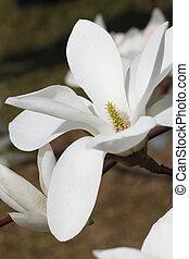 vertical, magnolia, fleurs, fin, blanc, beau, haut.