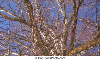 Vertical pan and zoom in shot of leafless birch trunk against blue cloudless sky