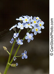 Asiatic Forget-Me-Not - Vertical Photo of Asiatic Forget-Me-...