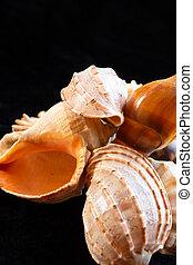 vertical photo of shells nautilus marine life close-up black background