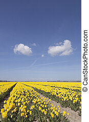 yellow tulips in flower field with blue sky and two clouds