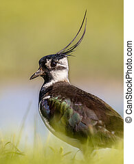 Vertical portrait of Northern lapwing in grassland habitat