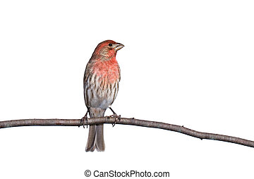 vertical profile of house finch perched on a branch