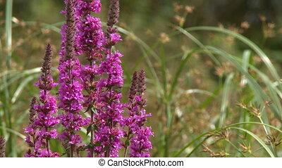 Vertical Purple Sage Flowers