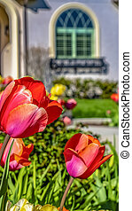 Vertical tall frame Radiant tulips blooming in the garden of a home on a sunny spring day
