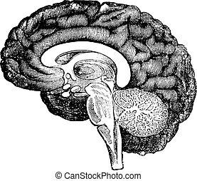 vertical, vendange, section, cerveau, humain, vue, côté, engraving.