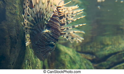 Vertical video 15sec. Red lionfish or Pterois volitans....