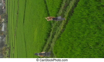 Vertical video. Aerial shot of a woman meditating on a marvelous rice field during sunrise-sunset
