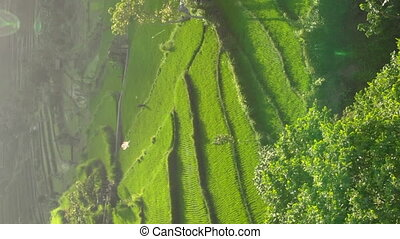 Vertical video. Aerial shot of the marvelous rice teraces in mountains during sunset