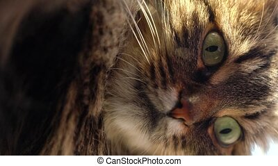Vertical video. Cute muzzle of a tabby domestic cat that looks in different directions