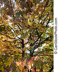 close up background of a fall foliage maple tree in the evening sun