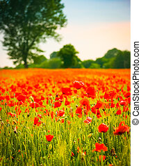 Vertical view of poppy flowers in a wheat field at sunset