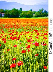 Vertical view of poppy flowers in a wheat field