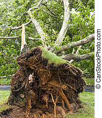 Vertical view of the roots of a tree that fell during storm on Long Island