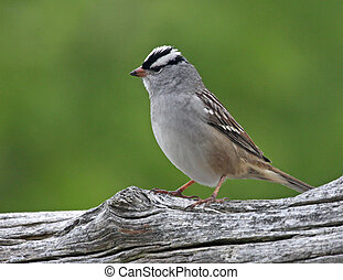 vertical, white-crowned, pardal