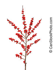 verticillata, ilex, winterberry, o