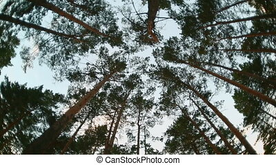 Vertigo in beautiful summer high pine forest with blue sky.