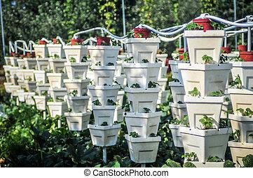 vertikal, jordgubbe, trädgård