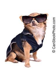 vervelend, blauwe , chihuahua, grit, dog, zonnebrillen, jas, studio, serieuze , donker, black