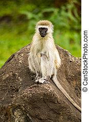vervet 猿, モデル, 上に, a, 岩, 中に, ∥, サバンナ, の, amboseli, 公園, 中に, kenya