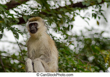vervet 猿, 壁の着席, 中に, ∥, サバンナ, の, amboseli, 公園, 中に, kenya