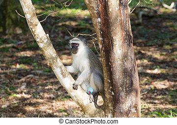 Vervet monkey from Isimangaliso Wetland Park, South Africa....