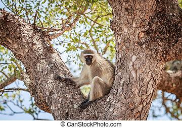 Vervet monkey sitting in a tree.